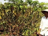 Khô hạn nhất 30 năm: Cà phê Tây Nguyên đang hóa củi