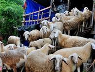 Chàng 'khùng' 8X mở trang trại nuôi cừu thu lãi trăm triệu