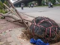 Bêu tên 2 công ty trồng cây trong vụ cây bật gốc sau bão vẫn còn nguyên vỏ bọc