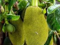 """Việt Nam đang sở hữu một loại quả được mệnh danh là """"cứu tinh của thế giới"""""""