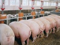Sau đại gia Thái C.P., đến lượt người Pháp mở chuỗi nuôi lợn sạch ở Việt Nam