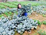 Từ chức giám đốc ngân hàng, trồng rau thu 2 tỷ/tháng