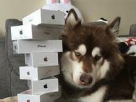 Thiếu gia giàu có nhất Trung Quốc mua hẳn 8 chiếc iPhone 7 và iPhone 7 Plus cho chó cưng