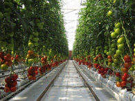 Đây là cách 1 trang trại nằm chơ vơ giữa sa mạc, tưới cây bằng nước biển, nhưng trồng được lượng cà chua đủ cho cả Hà Nội trong 1 tháng