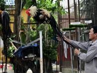 Cặp gà Nhật Bản đuôi dài giá 65 triệu đồng chơi Tết