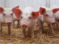 Tại sao Thái Lan sản lượng nhiều nhất Đông Nam Á nhưng chưa bao giờ phải 'giải cứu' lợn?