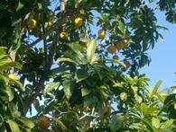 Tìm ra loại quả người Việt để rụng đầy vườn nhưng được phương Tây lùng mua với giá gần 1,5 triệu đồng mỗi kg bột