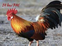 """1 con gà đang """"cõng"""" trên lưng những loại phí nào?"""