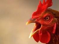 """Bộ trưởng Bộ Nông nghiệp nói gì về việc 1 con gà """"cõng"""" 14 loại phí?"""