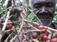 Quan liêu, tham nhũng đang giết chết ngành cà phê Kenya như thế nào?
