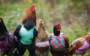 Nuôi gà kiểu Mỹ: Chăm bằng khăn tiệt trùng, lá hương thảo thay kháng sinh