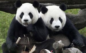Chuyện lạ: Cổ phiếu 2 công ty Nhật Bản tăng mạnh nhờ gấu trúc... sinh con