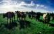 Startup này cho phép bạn mua cả một con bò với người lạ trên mạng Internet