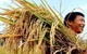 Chiều đi xuống vẫn là xu thế ám ảnh đối với hạt gạo của Việt Nam