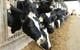 TH Milk khoe đàn bò lớn nhất Việt Nam, cho năng suất tương đương Mỹ, Israel, cao gấp đôi bò trong nước