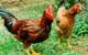 Một Startup nuôi gà của nhóm sinh viên năm 2 được 5 đại gia quan tâm rót vốn