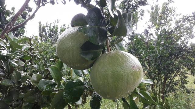 Nông dân Đà Nẵng thu hàng trăm triệu từ cây bưởi  - Ảnh 2.