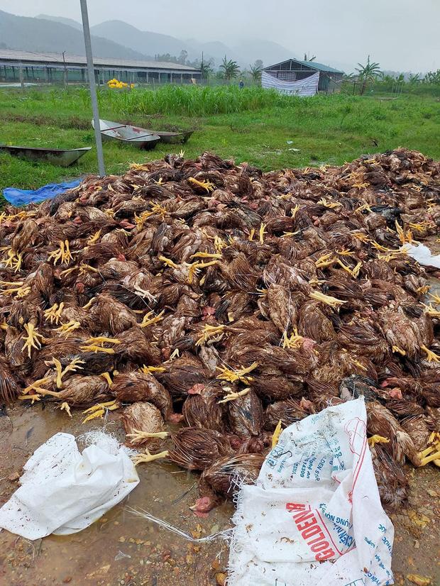 10.000 con gà chết chất thành đống sau lũ, chủ trang trại đau lòng: Mất hết rồi, tôi không dám nhìn vào 2 chuồng gà nhà mình nữa - Ảnh 2.