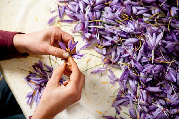 """Cận cảnh quá trình thu hoạch saffron - thứ gia vị đắt nhất thế giới được mệnh danh """"vàng đỏ"""" có giá hàng tỷ đồng/kg, từng được Nữ hoàng Ai Cập dùng để dưỡng nhan - Ảnh 3."""