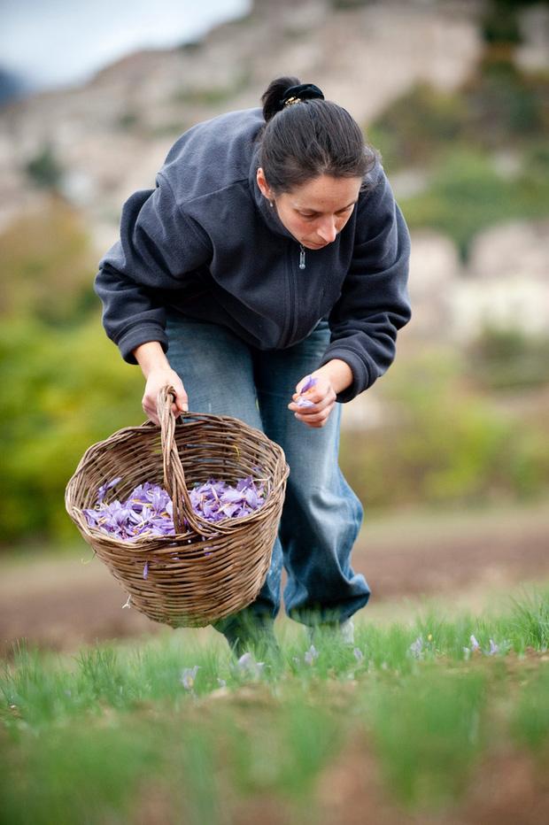 """Cận cảnh quá trình thu hoạch saffron - thứ gia vị đắt nhất thế giới được mệnh danh """"vàng đỏ"""" có giá hàng tỷ đồng/kg, từng được Nữ hoàng Ai Cập dùng để dưỡng nhan - Ảnh 4."""