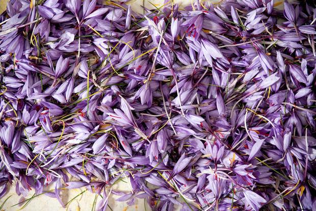 """Cận cảnh quá trình thu hoạch saffron - thứ gia vị đắt nhất thế giới được mệnh danh """"vàng đỏ"""" có giá hàng tỷ đồng/kg, từng được Nữ hoàng Ai Cập dùng để dưỡng nhan - Ảnh 5."""
