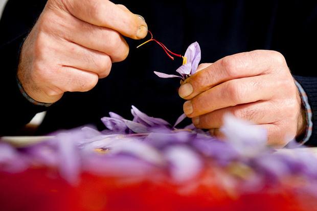 """Cận cảnh quá trình thu hoạch saffron - thứ gia vị đắt nhất thế giới được mệnh danh """"vàng đỏ"""" có giá hàng tỷ đồng/kg, từng được Nữ hoàng Ai Cập dùng để dưỡng nhan - Ảnh 6."""