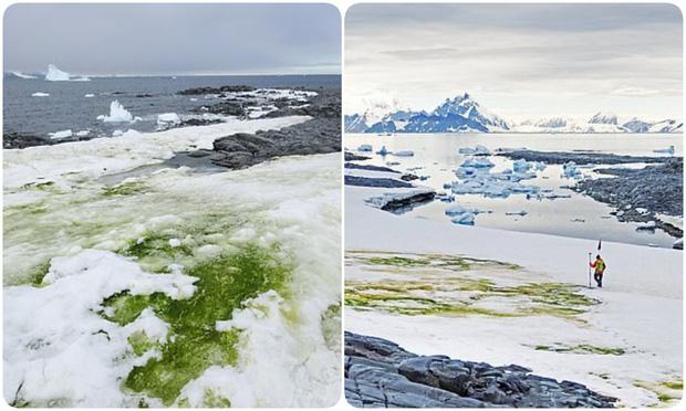 Nam Cực tuyết trắng bỗng nhiên bị phủ xanh, nhưng lý do lần này không hẳn đã thuộc về con người - Ảnh 2.
