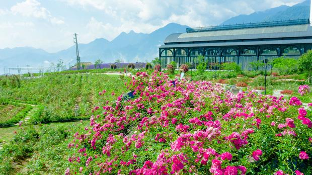 Việt Nam vừa có một thung lũng hoa hồng rộng 50.000 m2 được trao kỷ lục quốc gia, lại có thêm nơi để check-in hè này rồi!  - Ảnh 1.