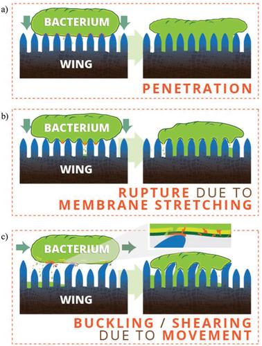 Tại sao đôi cánh mỏng manh của ve sầu lại là cơn ác mộng đối với mọi loài vi khuẩn? - Ảnh 5.