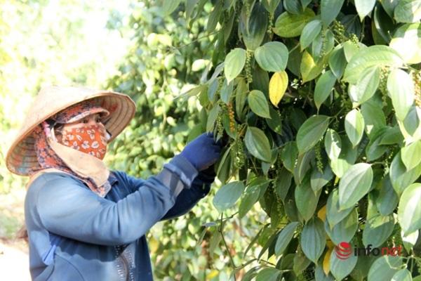 Vừa bán sạch kho thì hồ tiêu tăng giá, dân trồng tiêu Tây Nguyên tiếc hùn hụt  - Ảnh 1.