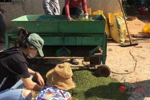 Vừa bán sạch kho thì hồ tiêu tăng giá, dân trồng tiêu Tây Nguyên tiếc hùn hụt  - Ảnh 2.