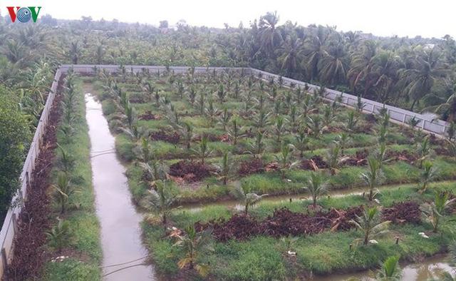 Nhà vườn ĐBSCL đổ xô trồng mít Thái, lo cung vượt quá cầu  - Ảnh 3.