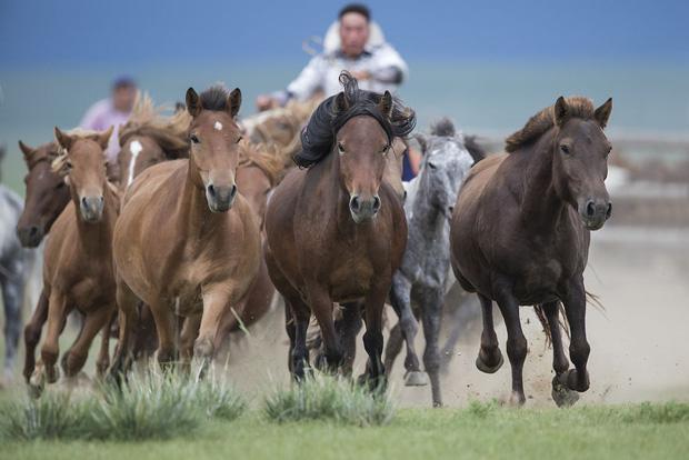Profile siêu xịn của ngựa được đội Kỵ binh cảnh sát cơ động Việt Nam sử dụng: Là ngựa nòi Mông Cổ, thuộc một trong những giống đỉnh nhất thế giới - Ảnh 2.