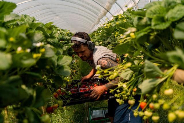 Thất nghiệp, người dân Anh đổ xô đến nông trại hái dâu, kiếm được hơn 500 USD/tuần - Ảnh 1.