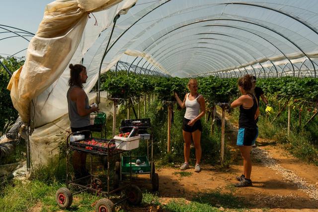 Thất nghiệp, người dân Anh đổ xô đến nông trại hái dâu, kiếm được hơn 500 USD/tuần - Ảnh 2.