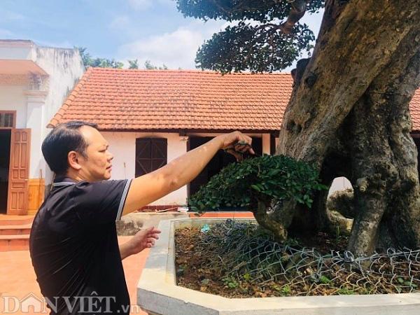 Phú Thọ: Ông thợ mộc mua cây duối cổ 400 tuổi giá 2 triệu, giờ khách trả 3 tỷ không bán - Ảnh 3.