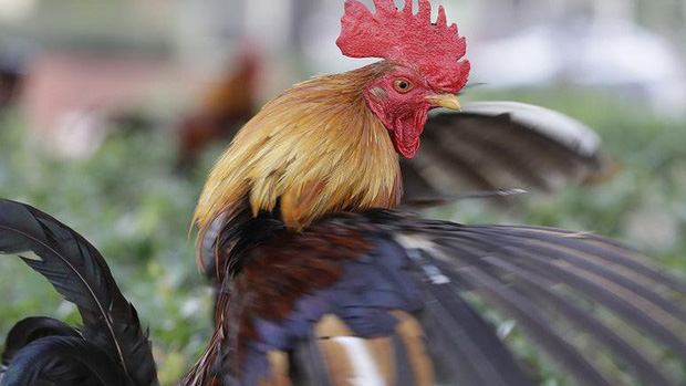 74.000 người Pháp ký đơn đòi công lý cho một con gà trống - Ảnh 1.