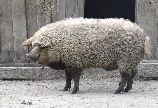 Thịt từ loại lợn có lông xù như lông cừu đắt hàng như tôm tươi nhờ hương vị đậm đà và mềm đến mức như tan trong miệng  - Ảnh 1.
