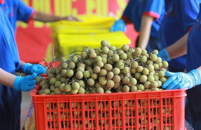 Sau vải thiều, đến lượt nhãn Hải Dương được xuất ngoại sang Singapore, Anh, giá thu mua gấp đôi thị trường - Ảnh 1.