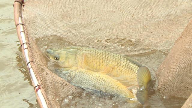 Chàng trai bỏ công việc lương cao về quê nuôi cá khổng lồ: Không phải ai chán thành phố cũng về quê nuôi cá và trồng thêm rau được đâu! - Ảnh 2.