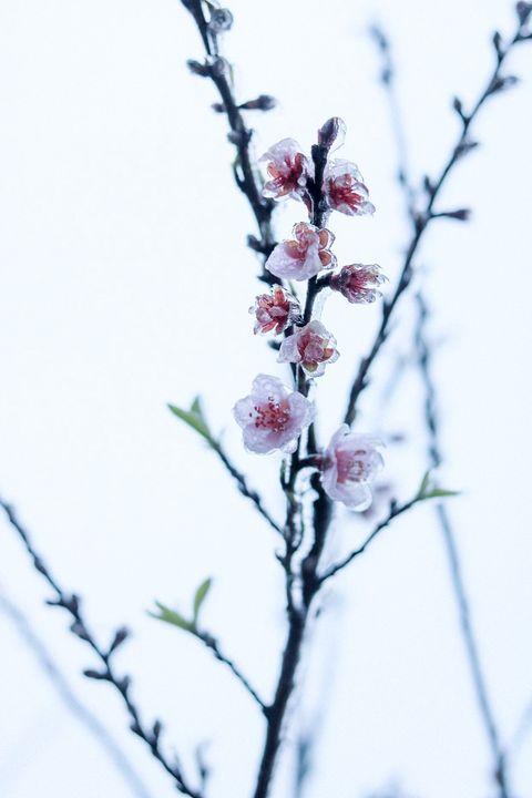 Những khoảnh khắc băng tuyết phủ trắng Y Tý - Sapa, hoa đào nở đóng băng đẹp như cổ tích là dịp vô cùng hiếm hoi để du lịch vào thời điểm này! - Ảnh 10.
