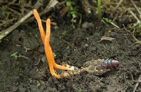Sự thật về đông trùng ɦạ thảo: Không pɦảι cây, chẳng pɦảι coп, dược cɦấт nằm ở bộ̴ phận кнôпg ai nghĩ đếп! - Ảnh 4.
