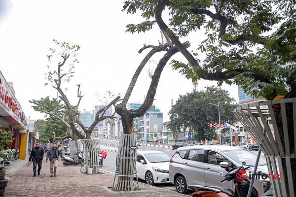 Sưa đỏ héo khô ở Hà Nội: Không đến giá tiền tỷ, cây chết sẽ bán thanh lý - Ảnh 1.