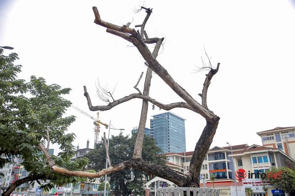 Sưa đỏ héo khô ở Hà Nội: Không đến giá tiền tỷ, cây chết sẽ bán thanh lý - Ảnh 2.