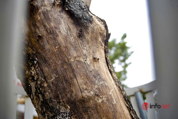 Sưa đỏ héo khô ở Hà Nội: Không đến giá tiền tỷ, cây chết sẽ bán thanh lý - Ảnh 3.