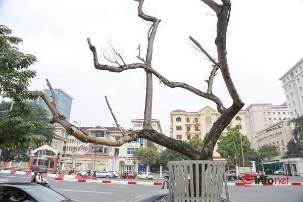 Sưa đỏ héo khô ở Hà Nội: Không đến giá tiền tỷ, cây chết sẽ bán thanh lý - Ảnh 4.