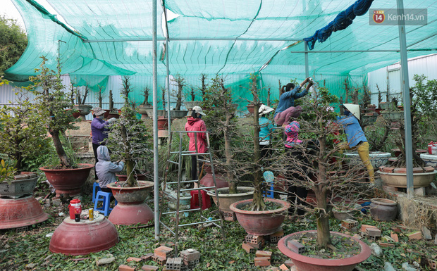 Bỏ 200 triệu thuê 30 người lặt lá mai vài ngày đón Tết Tân Sửu 2021 - Ảnh 1.