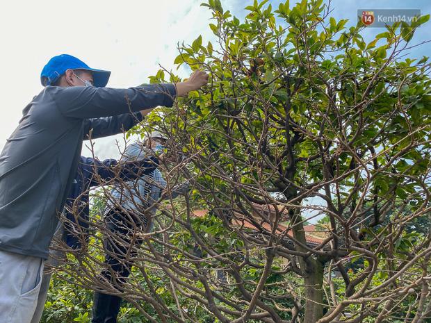 Bỏ 200 triệu thuê 30 người lặt lá mai vài ngày đón Tết Tân Sửu 2021 - Ảnh 7.