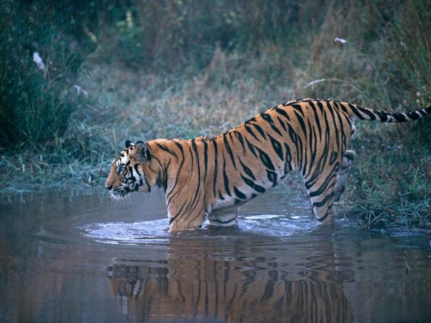 Làng có 3.000 phụ nữ có chồng bị hổ giết ở Ấn Độ: Vì sao nghe rừng có quỷ hổ vẫn vào? - Ảnh 1.