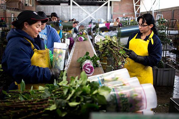 (Bài Tết) Colombia: Từ trùm buôn ma túy đến công xưởng hoa cho lễ Valentine, thu hàng trăm triệu USD/ngày dù không kỷ niệm ngày 14/2 - Ảnh 2.